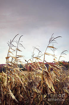 Sandra Cunningham - Corn stalks blowing in the wind