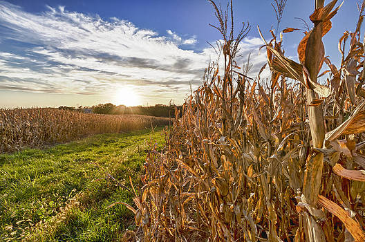 Cornfield at Sunset by Chris Reed