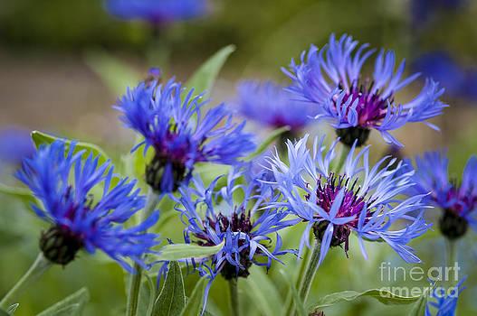 Cornflower Glory by Donald Davis