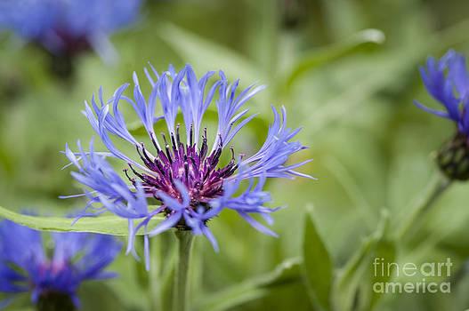 Cornflower Magic by Donald Davis