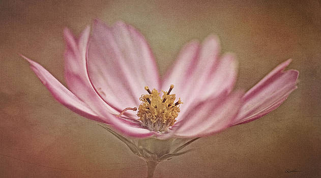 Cosmos by Ann Lauwers