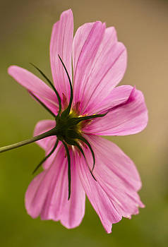 Cosmos in Pink by Diane Fifield