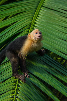 Costa Rican Capuchin by Sheen Watkins