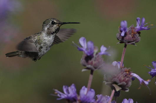 Costa's Hummingbird by Joe Sweeney