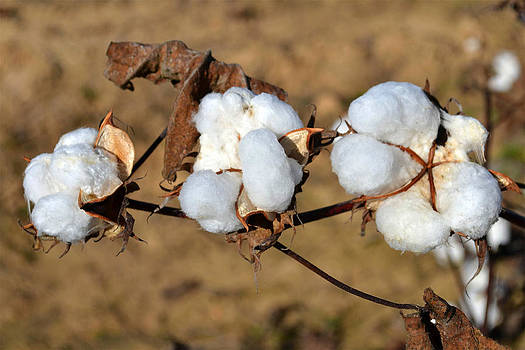 Cotton by Carrie Cooper