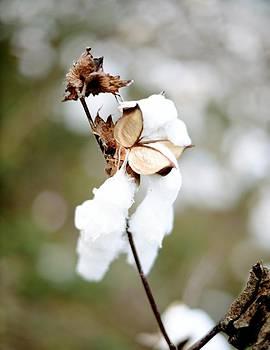 Cotton Picking by Linda Mishler