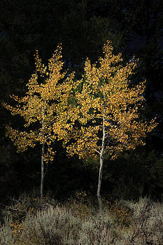 Roger Mullenhour - Cottonwood Trees in Yellowstone