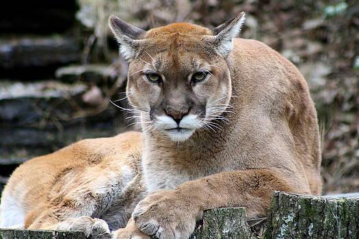 Cougar Gaze by Jim Johnson