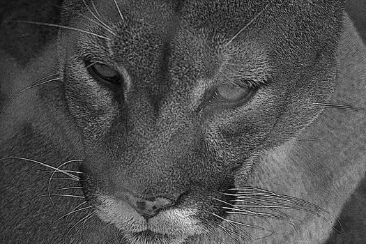 Joe Bledsoe - Cougar