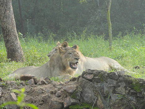 Couple Lions by Haroon  Basha