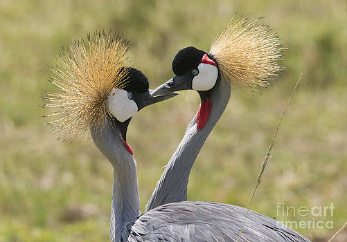 Howard Kennedy - Courting Grey-Crowned Cranes