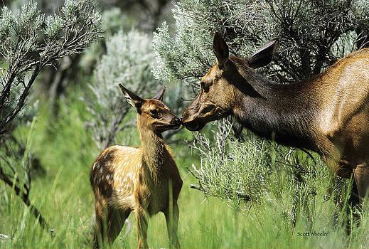 Scott Wheeler - Cow and Calf Elk
