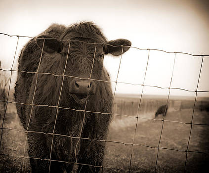Cow at fence in sepia by Virginia Folkman