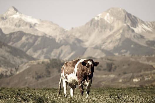 Cow by Daniel Huerlimann