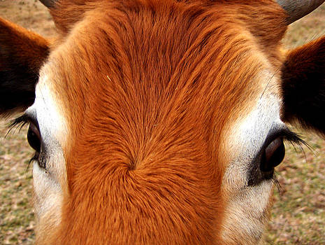 Cow Eyes by Pam Clark