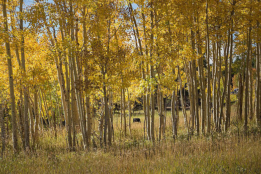 Cow in Aspen grove by Linda Storm