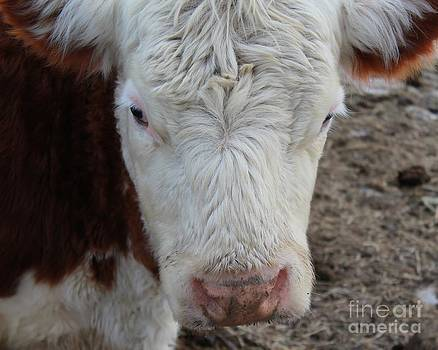 Cow Portrait by Pamela Walters