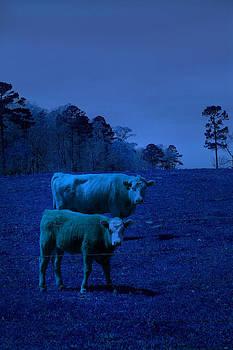 Nina Fosdick - Cow Stacking