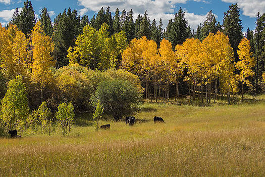 Cows in Aspen by Linda Storm