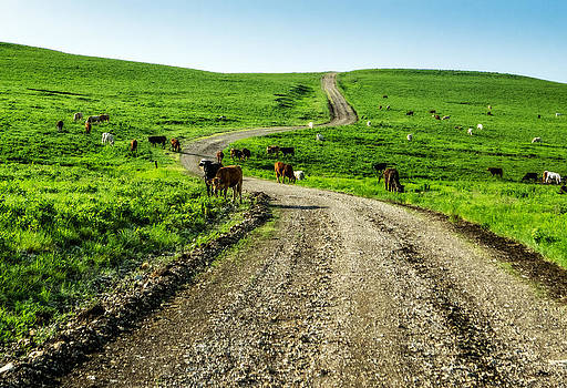 Cows on the Road by Eric Benjamin