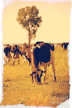 Sophie Vigneault - Cows