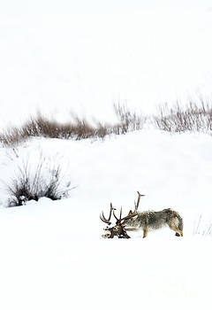 Coyote at Elk Carcass by Deby Dixon
