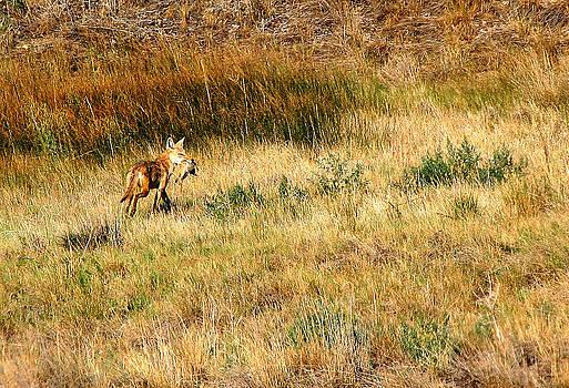 Coyote Catch by Rebecca Adams