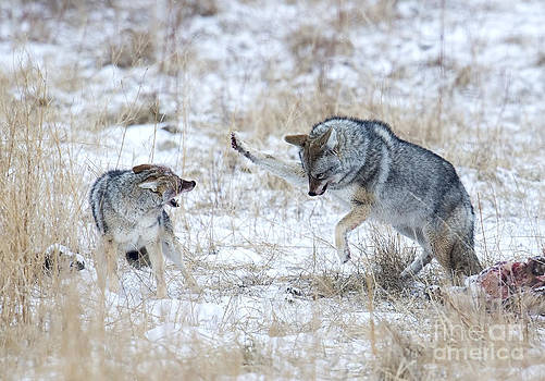 Coyote Fight by Deby Dixon