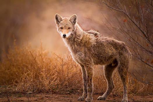 Coyote by Howard Weitzel