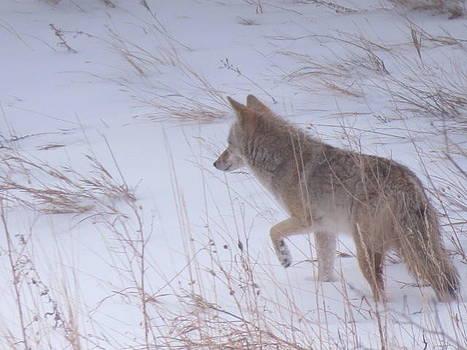 Coyote Hunt by Karen Mary Castranova