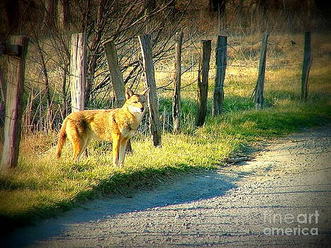 Coyote in Cades Cove by Cynthia Mask