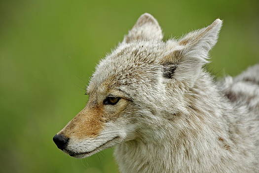 Coyote Portrait by Bruce Colin