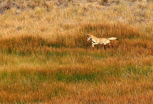 Coyote Pup by Rebecca Adams