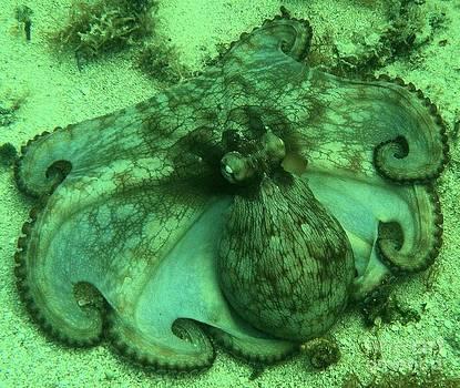 Adam Jewell - Cozumel Octopus