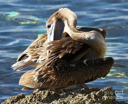Adam Jewell - Cozumel Pelican
