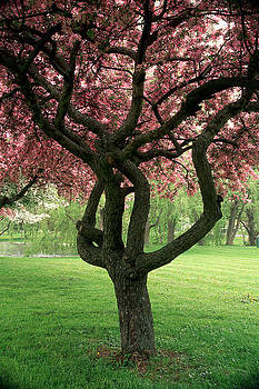Crab Apple Tree Corning  NY 3 by Roger Soule
