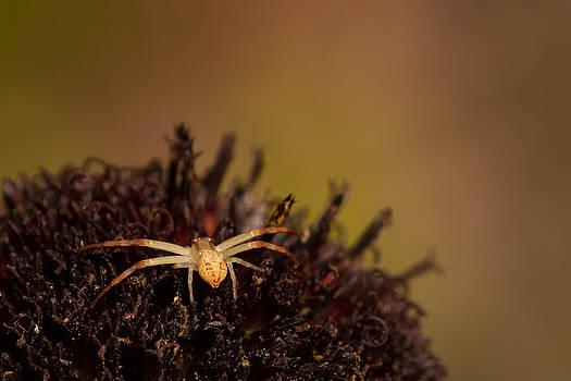 Paul Rebmann - Crab Spider on Rayless Sunflower