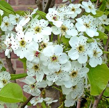 Crabapple Blossoms by Dayna Winters
