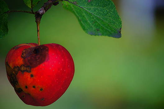 Crabapple by Tristan Bosworth
