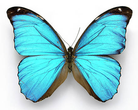 Cramer's Blue Butterfly by Natural History Museum, London/science Photo Library