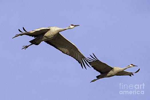 Tim Moore - Cranes Fly