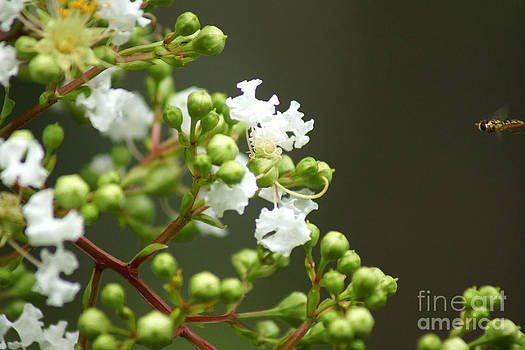 Crape Myrtle by Kim Pate