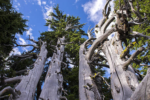Crater Lake Rim Trees by Spencer Bodian