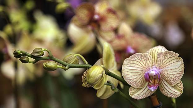 Lynn Palmer - Cream and Magenta Orchids