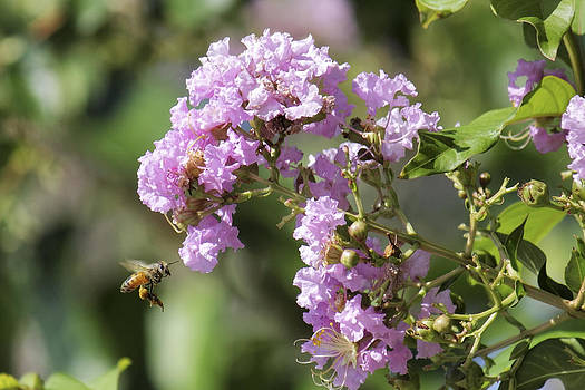 Jason Politte - Crepe Myrtle and Honey Bee