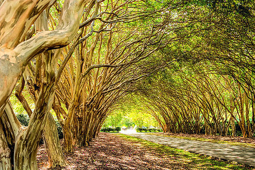 Crepe Myrtle Arch by Geoff Mckay