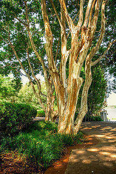 Crepe Myrtle by the path by Geoff Mckay