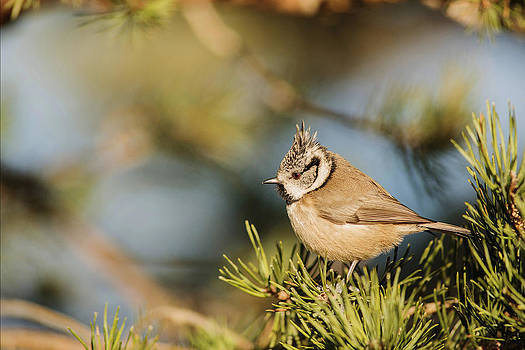 Crested tit by Bob Falconer