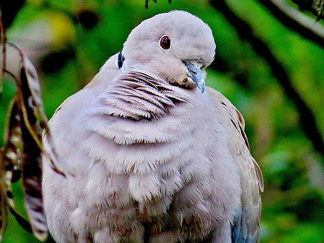 Rick Todaro - Crimean Collared Dove