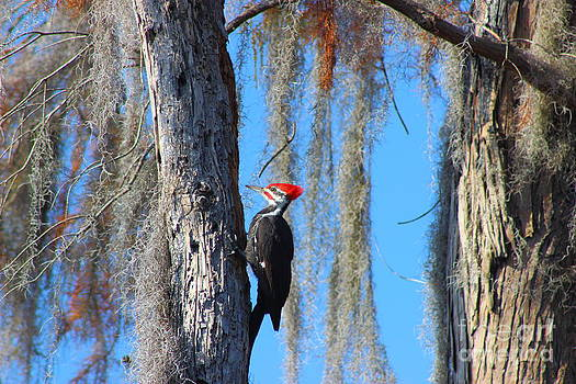 Crimson Crested Woodpecker by Andre Turner